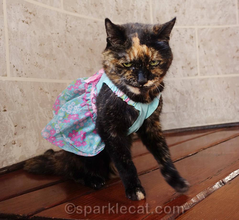 tortoiseshell cat in dress, looking mean