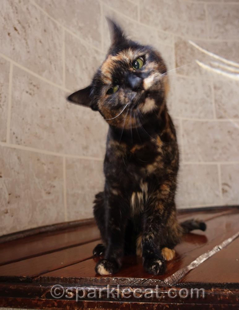tortoiseshell cat shaking head during photo shoot