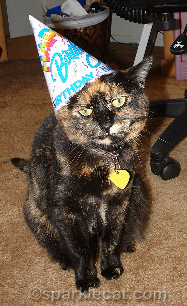 annoyed tortoiseshell cat wearing birthday hat