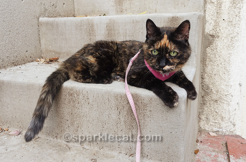 tortoiseshell cat in harness and leash