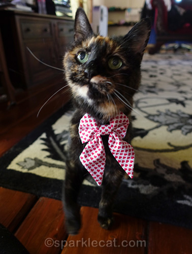 tortoiseshell cat wearing bow tie