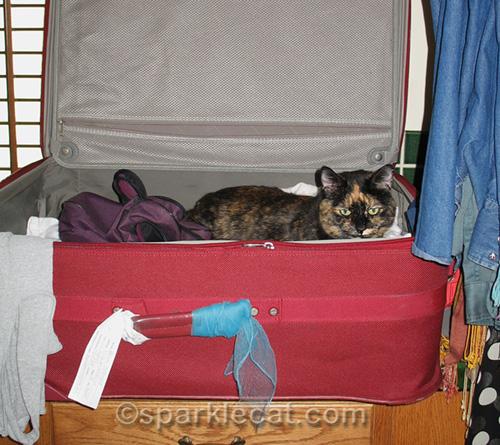 tortoiseshell cat in suitcase