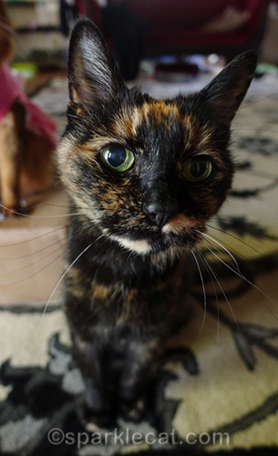 tortoiseshell cat portrait with short depth of focus
