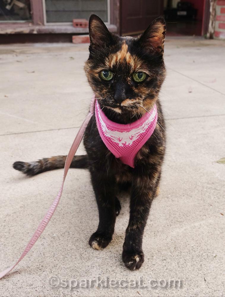 tortoiseshell cat on back patio