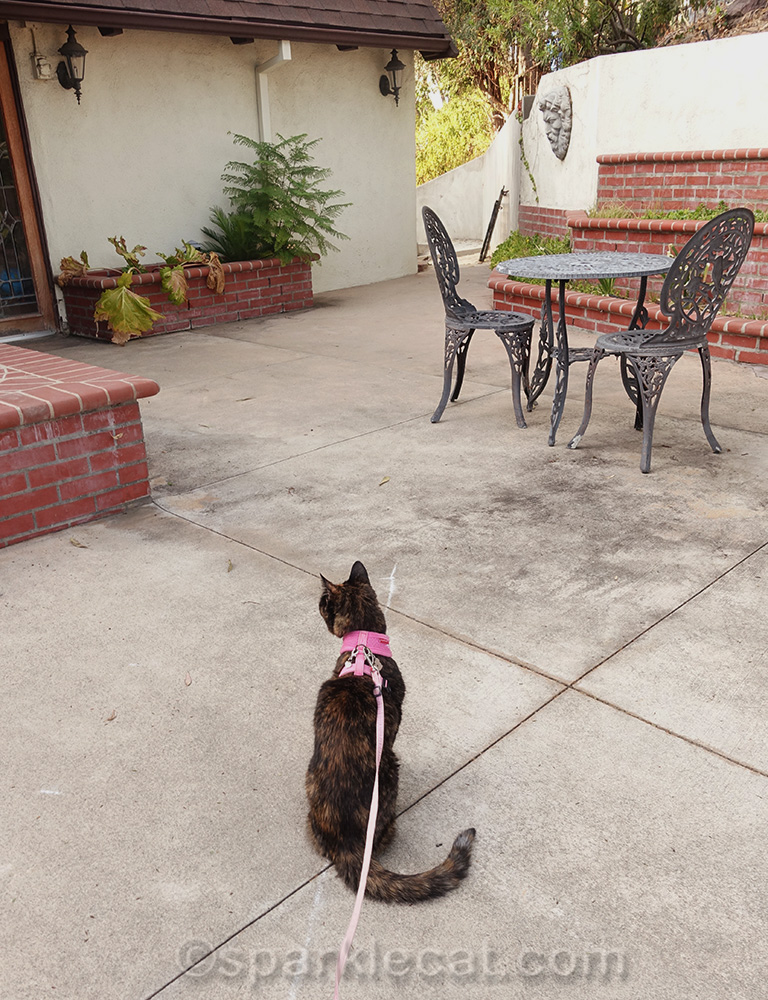 bored tortoiseshell cat onn back patio