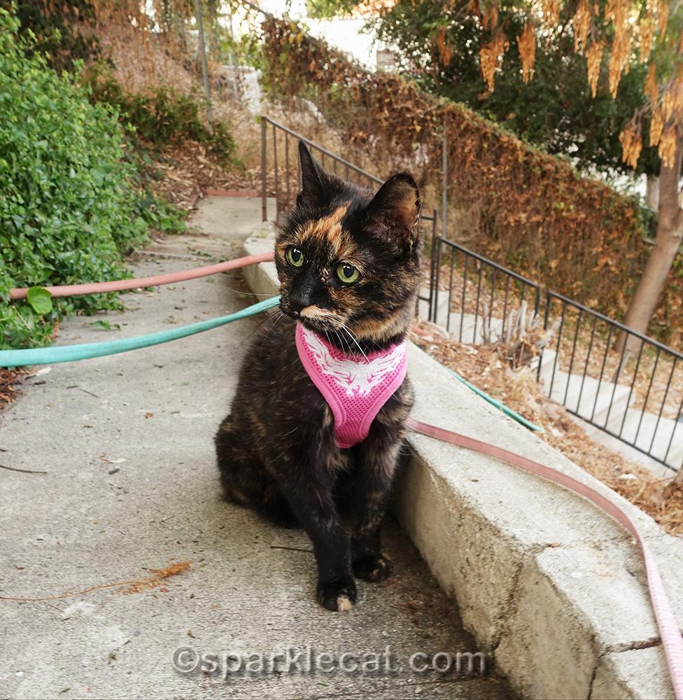 tortoiseshell cat on fall garden stroll