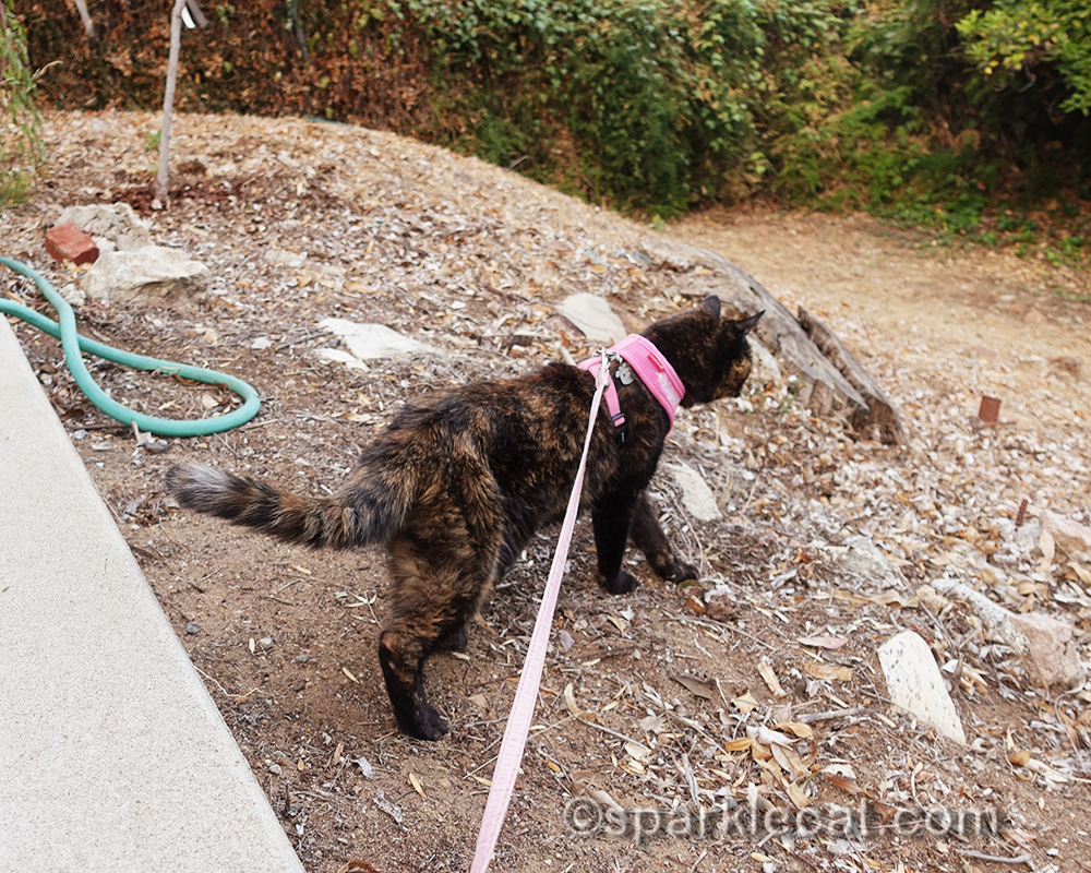 tortoiseshell cat wandering backyard