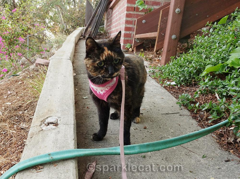 slightly annoyed tortie cat in garden