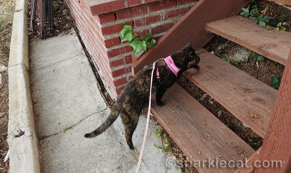 tortoiseshell cat going up wooden garden steps