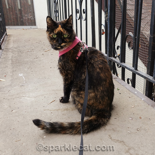 tortoiseshell cat outside, looking over shoulder