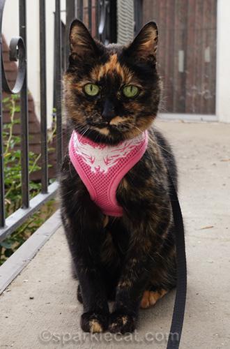 tortoiseshell cat posing