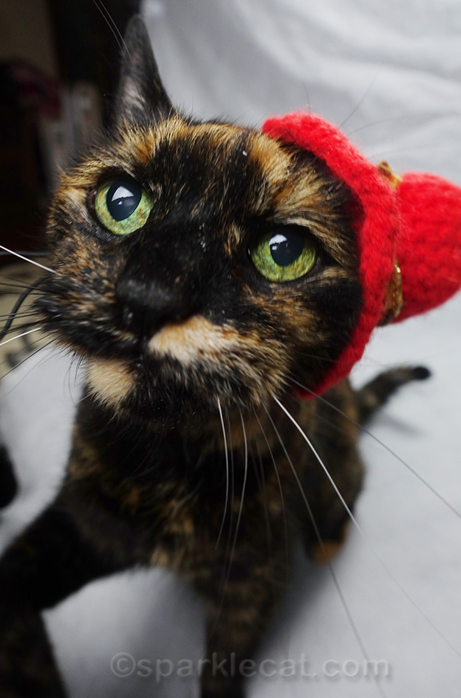tortoiseshell cat wearing hat begging for treats