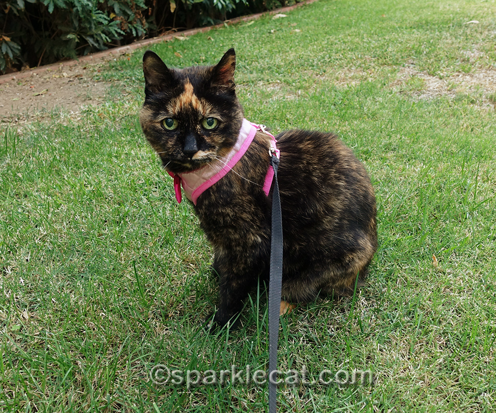 tortoiseshell cat sitting on grass in yard