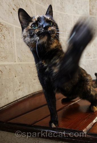 Tortoiseshell cat waving paw for treat