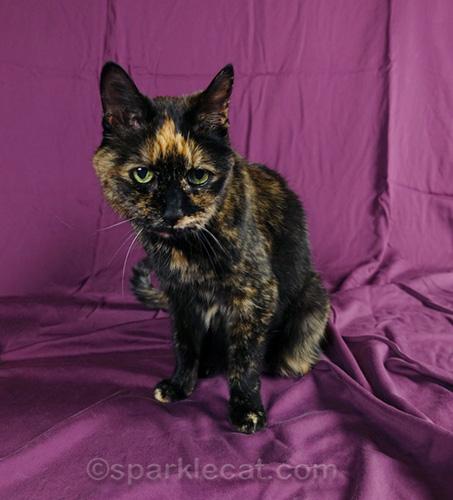 tortoiseshell cat with purple backdrop