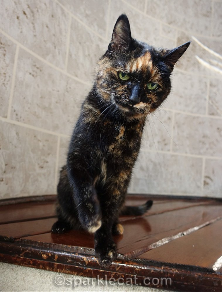 tortoiseshell cat with whapping paw raised, portrait orientation