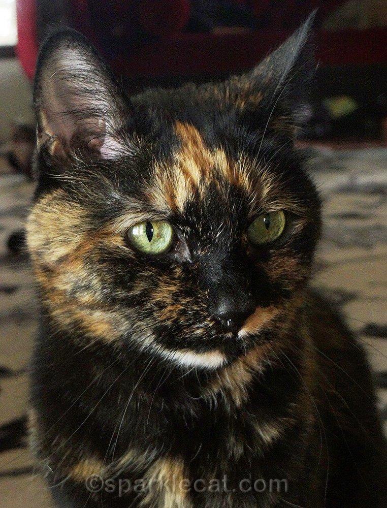 portrait of a tortoiseshell cat