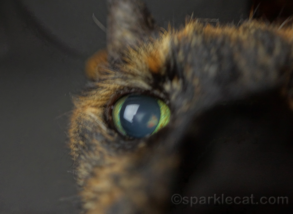 tortoiseshell cat with face in the camera