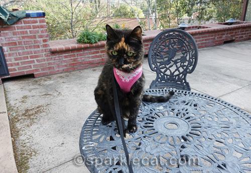 tortoiseshell cat Binga on wrought iron patio furniture