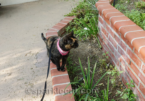 tortoiseshell cat sitting by built-in planters