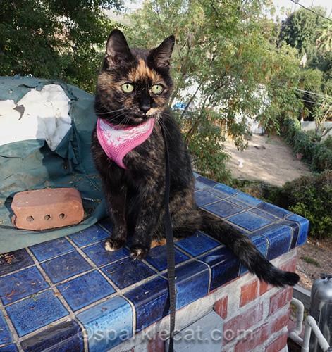 tortoiseshell cat sitting on blue tile