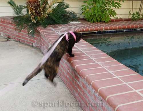 tortoiseshell cat jumping on outdoor spa bricks... out of focus