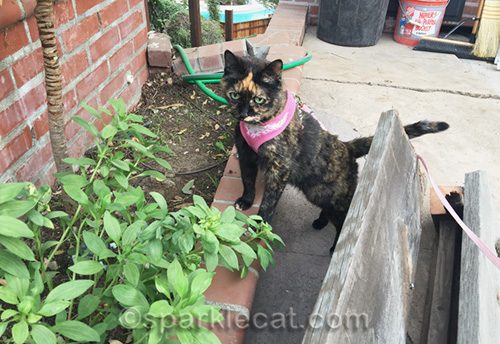 tortoiseshell cat supervising on patio