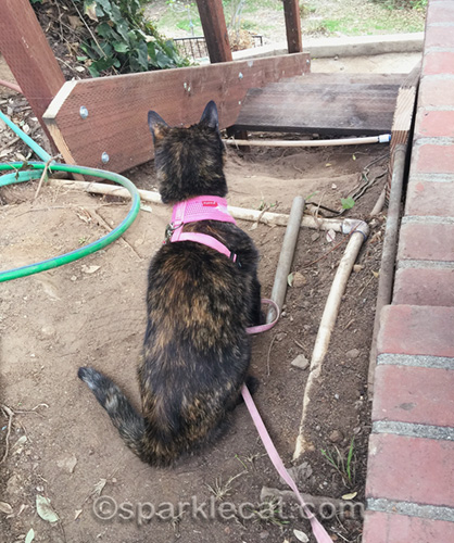 tortoiseshell cat does quality control on stair construction