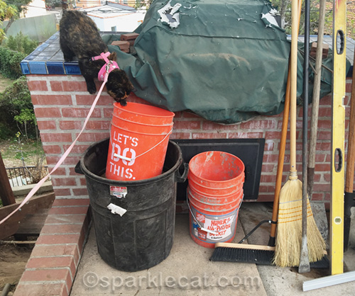 tortoiseshell cat examines buckets
