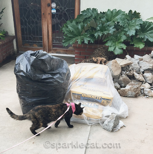 tortoiseshell cat examining cement
