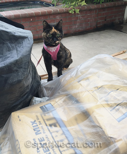tortoiseshell cat looking at bags of cement