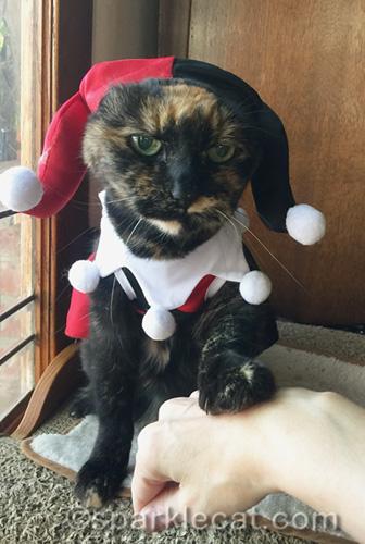 tortoiseshell cat in costume getting human encouragement