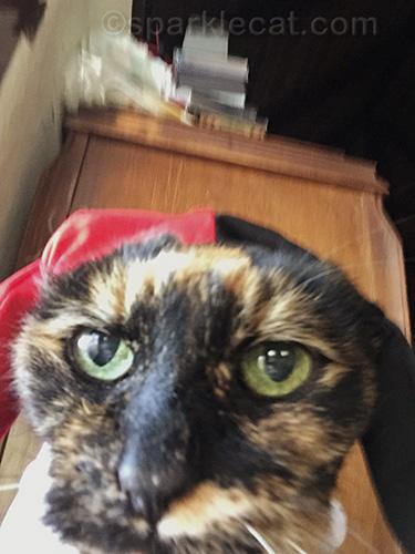 tortoiseshell cat in Harley Quinn costume taking selfie