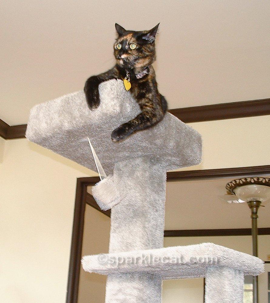 tortoiseshell cat thinks she is ruler of the cat tree