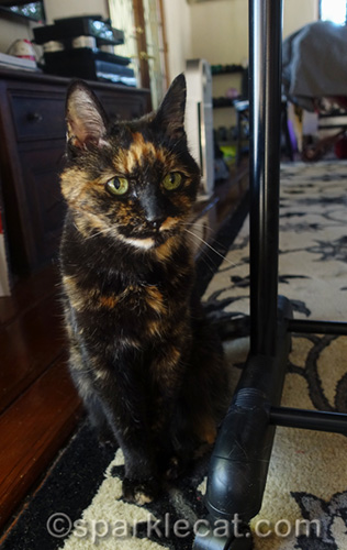 tortoiseshell cat with Festivus pole