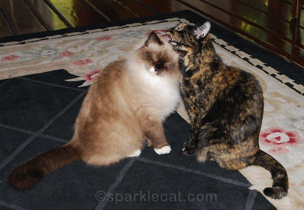tortoiseshell cat grooms rag doll cat