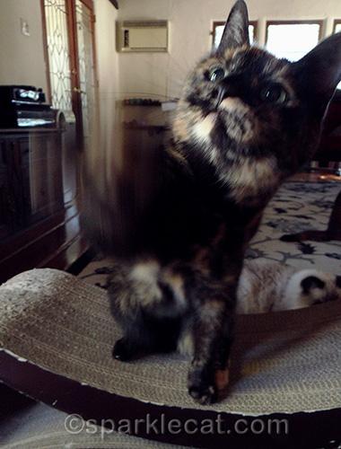 Tortoiseshell cat waving her paw