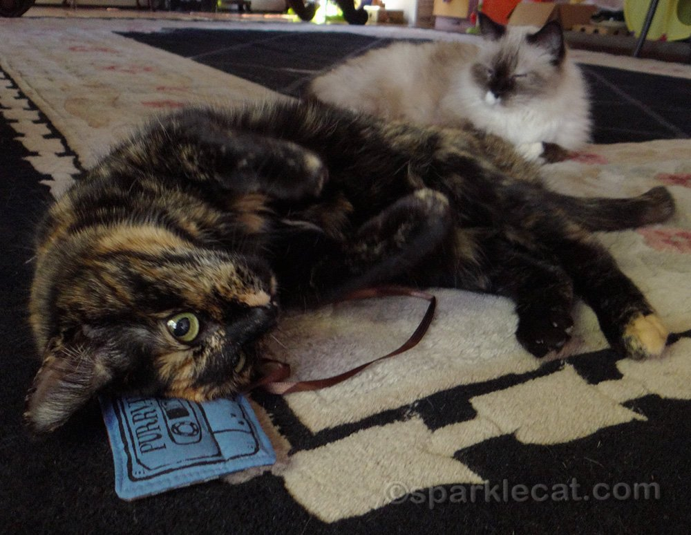 tortie cat enjoying catnip toy with ragdoll cat in background