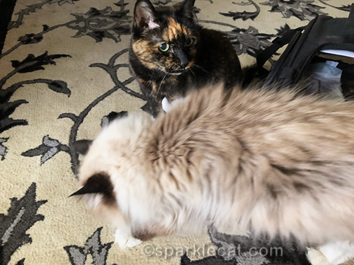 tortoiseshell cat being photo bombed by ragdoll cat