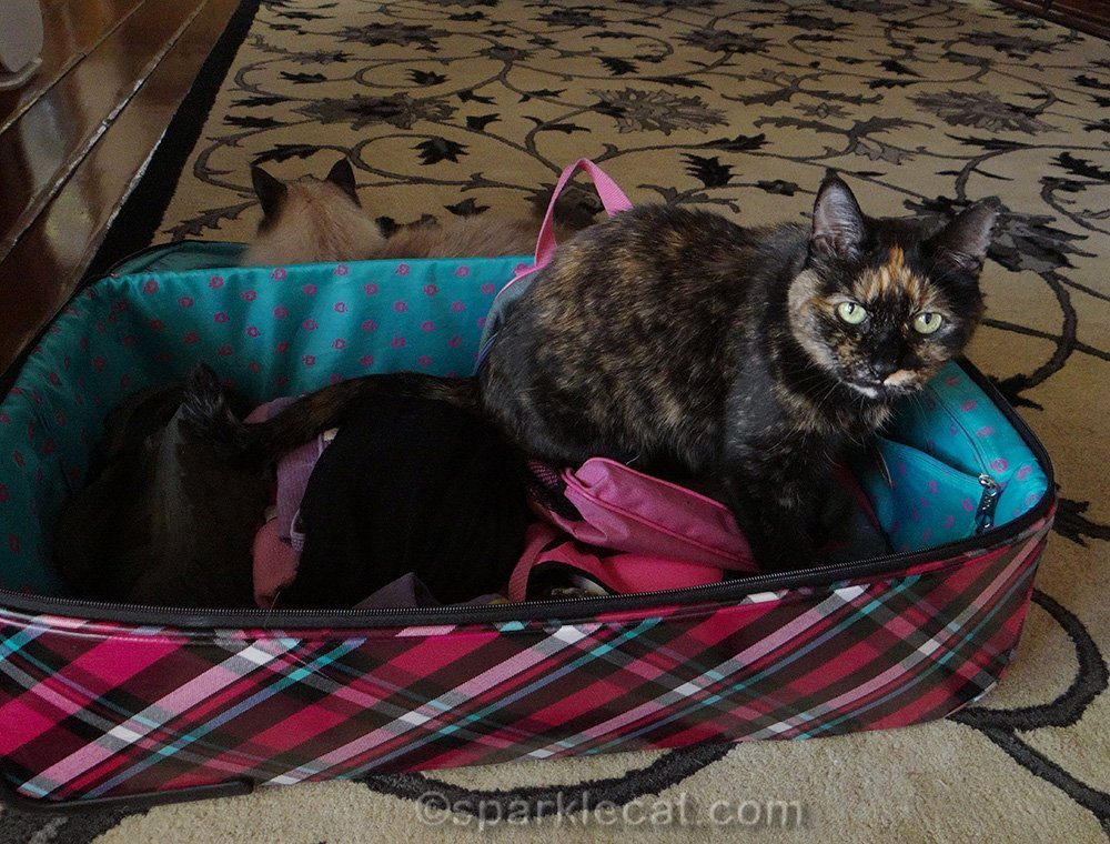 tortoiseshell cat and ragdoll cat with suitcase