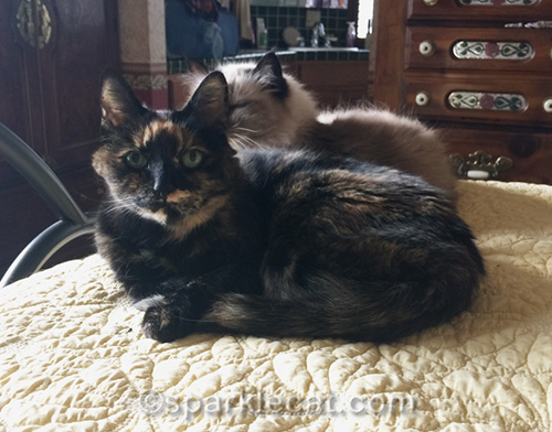 tortoiseshell cat and ragdoll cat on bed together