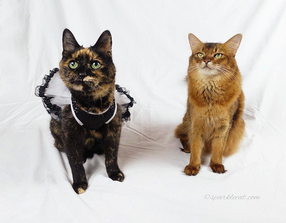 photo from Binga's calendar of tortoiseshell cat in dress and somali cat