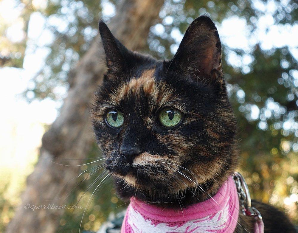 portrait of tortoiseshell cat for calendar