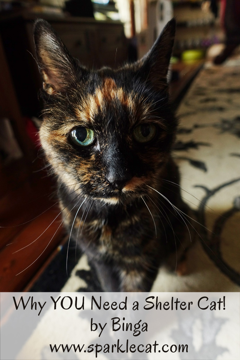 9 Reasons Why You Need a Shelter Cat in Your Life - By Binga