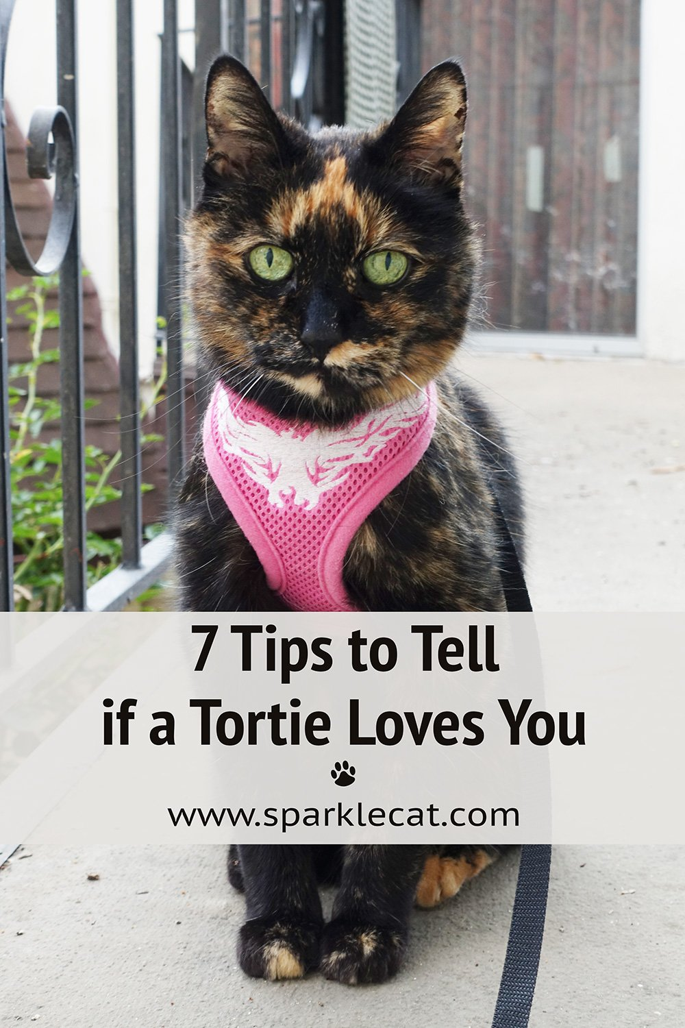 How to Tell if a Tortie Loves You - 7 Tips