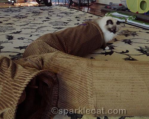 Ragdoll cat playing with Neko Pawdz tunnels