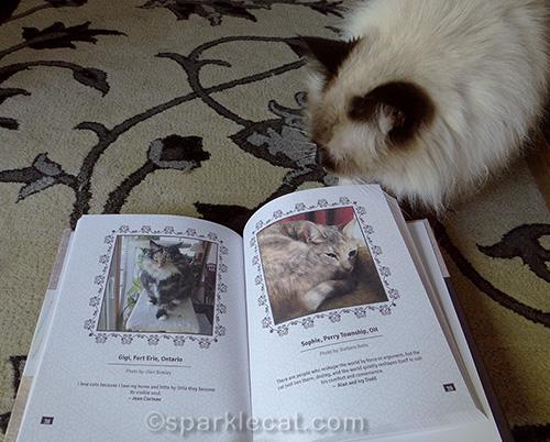 ragdoll cat looks at Tortitude book