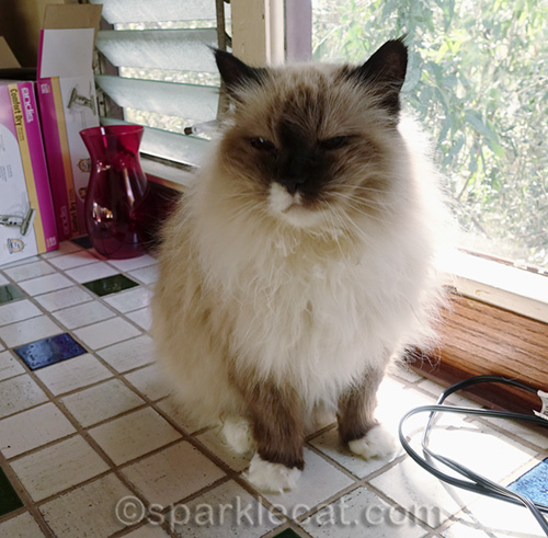 ragdoll cat with messy fur on counter