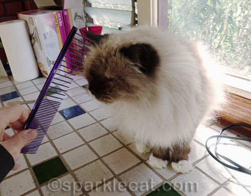 ragdoll cat checks out grooming comb
