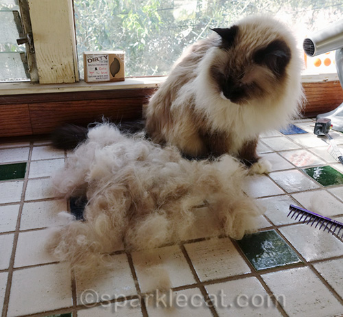 ragdoll cat looks in amazement at all the fur combed out of her